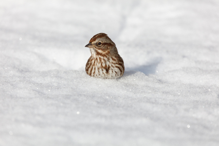 song sparrow in the snow close up