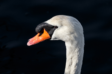 Mute swan head at Ambleside Park, Vancouver BC Canada