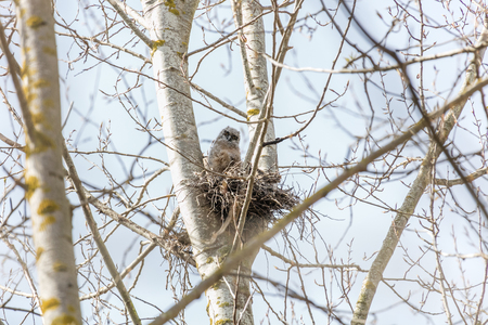 great horned owl nest and owlet at Delta  BC Canada Stock Photo - 122142063