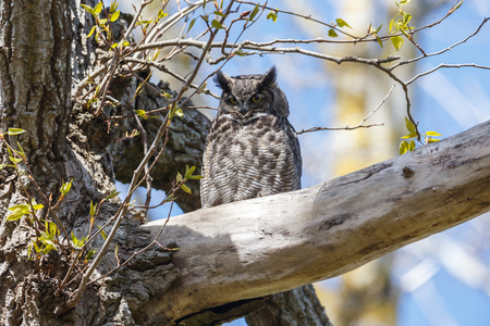 great horned owl at Delta  BC Canada 版權商用圖片 - 122142073