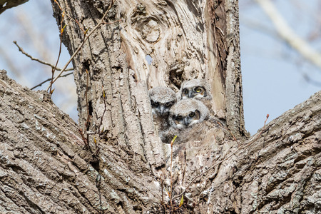 great horned owl nest and owlet at Delta  BC Canada