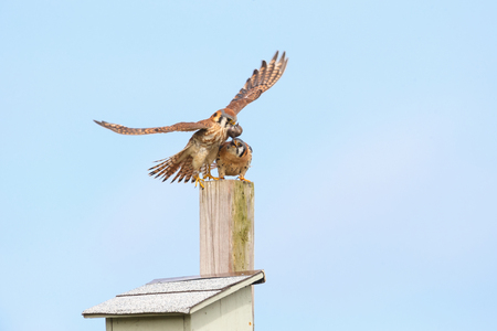 american kestrel and nest box  at Burnaby BC Canada 版權商用圖片 - 122142358