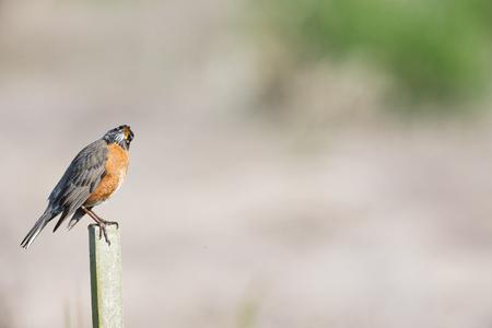 american robin bird  at Burnaby BC Canada