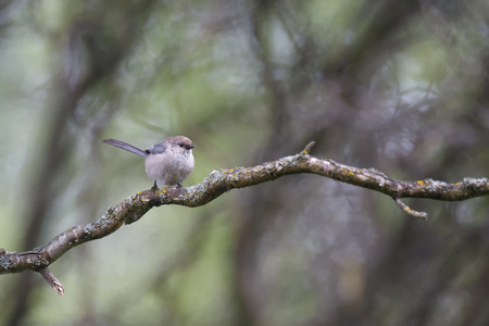 American bushtit bird at Richmond BC Canada