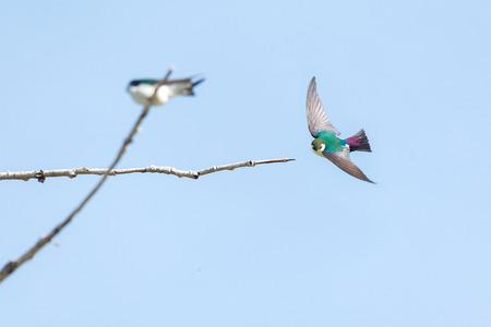 Violet green swallow bird at  Richmond BC Canada