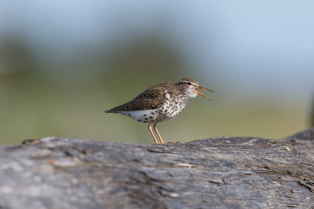 spotted sandpiper bird at  Richmond BC Canada