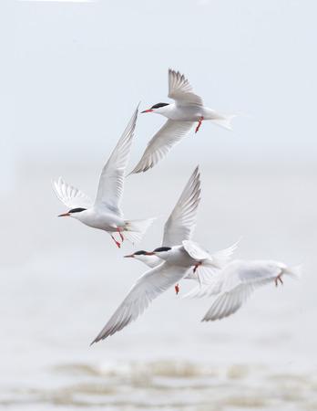 flying common tern bird at Richmond BC Canada
