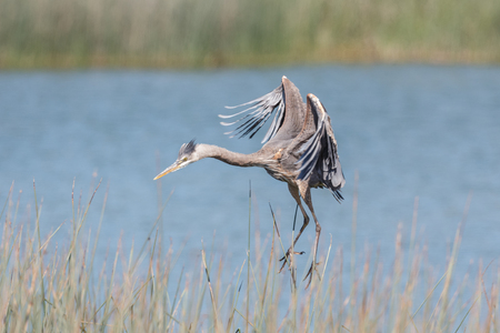 Great blue heron at  Richmond BC Canada