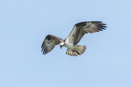 Osprey in flight  at  Richmond BC Canada