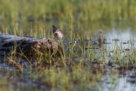 spotted sandpiper bird at  Richmond BC Canada