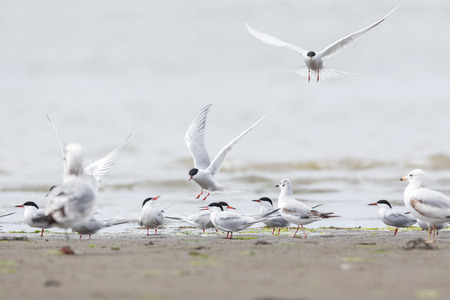 common tern bird at Richmond BC Canada