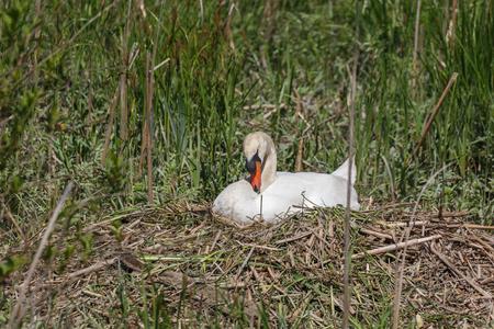 Mute Swan bird at Delta BC Canada Stock Photo