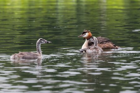 Great crested grebe with young chick - at a wetland, Beijing, China