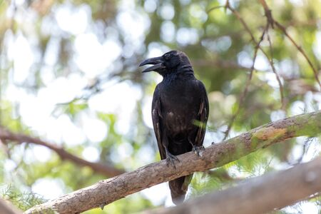 Large billed Crow  perched on a tree branch at Beijing, China, Standard-Bild