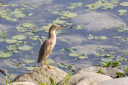 A yellow bittern Ready to prey - at a wetland, Beijing, China