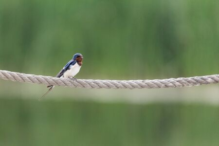 Barn Swallow perched on a rope at Beijing, China,