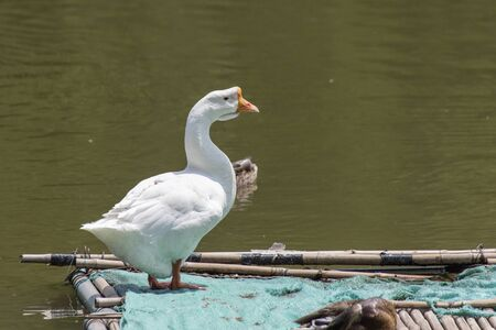 White Chinese Goose  perched on  bamboo raft  at Beijing, China,