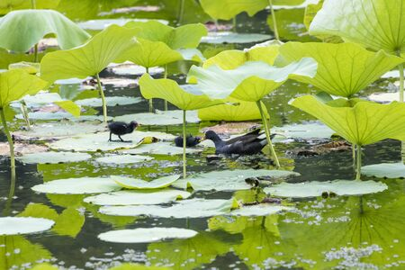 Common Moorhen with chick at a wetland, Beijing, China