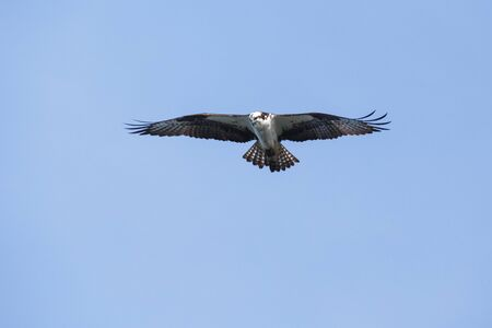 Osprey in Vancouver BC Canada