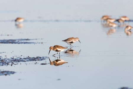 shorebird dunlin, Delta, British Columbia, Canada. 版權商用圖片