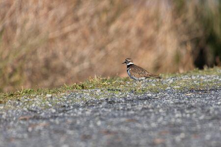 Killdeer Charadrius vociferus , Delta, British Columbia, Canada