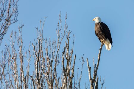 Bald Eagle perched in tree top, Delta, British Columbia, Canada