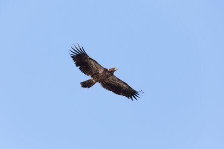 juvenile bald eagle, Delta, British Columbia, Canada. Zdjęcie Seryjne