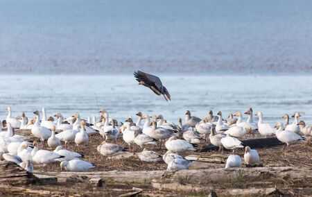 Snow goose, a color variant called the Blue Goose, Blue morph adults, Richmond BC Canada