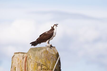 Osprey with fish in Vancouver BC Canada