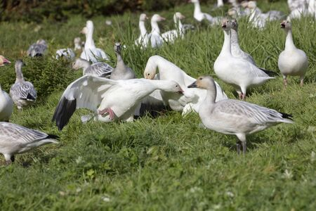 White Snow Goose fight at Richmond British Columbia Canada 版權商用圖片