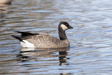 cackling goose,  a smaller version of the Canada Goose,  at Delta BC Canada Imagens