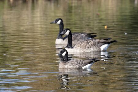 cackling goose and Canada Goose at Delta BC Canada