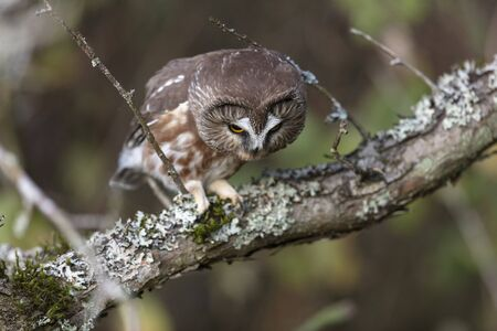 Northern saw-whet owl at Richmond BC Canada 版權商用圖片