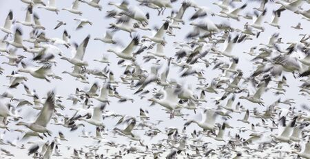 Flying Snow Geese with motion blur for background