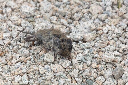 black dead vole at Richmond british columbia Canada Archivio Fotografico