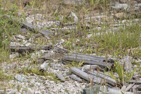 Killdeer bird nest at Richmond BC Canada