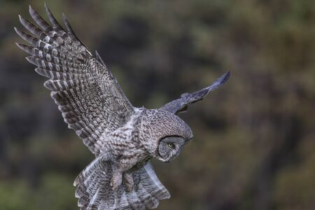 Flying Great Gray Owl in british columbia interior Canada
