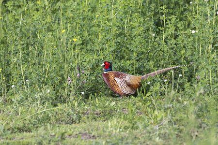 Ring necked Pheasant in british columbia interior Canada Archivio Fotografico