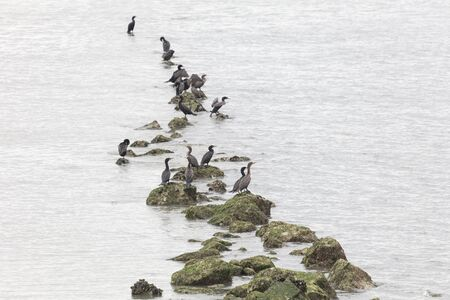 double crested cormorant at Richmond british columbia Canada