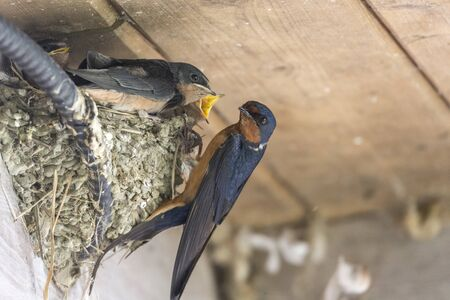 barn swallow nest and chicks at Richmond BC Canada