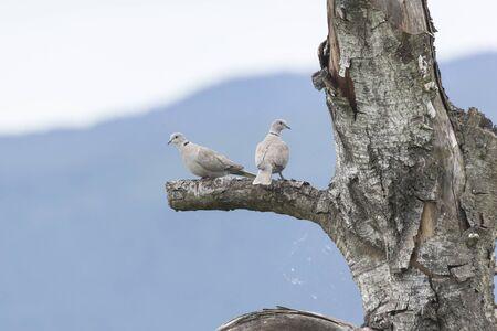 eurasian collared dove at coquitlam,  british columbia,  Canada