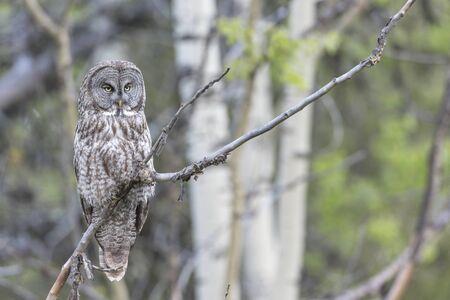 Great Gray Owl Perched in british columbia interior Canada Archivio Fotografico