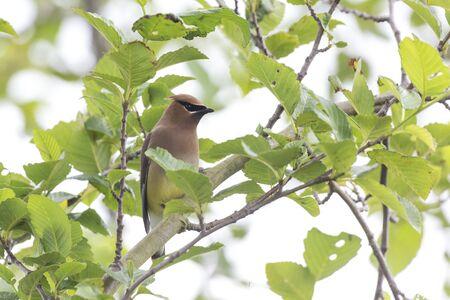 Cedar Waxwing bird at Richmond BC Canada