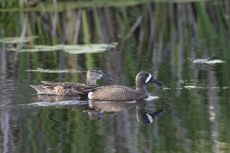 blue winged teal at Richmond BC Canada