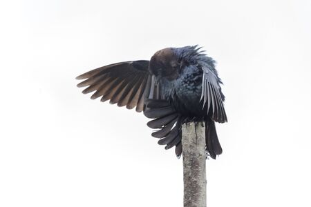 Isolated brown headed cowbird at Richmond british columbia Canada