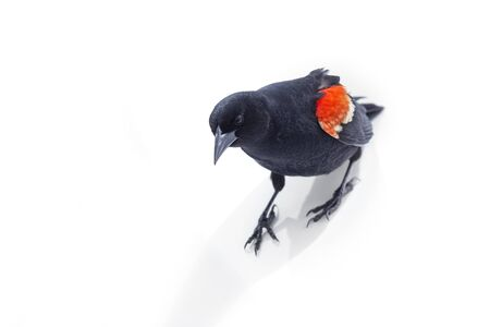 Isolated red winged blackbird at Richmond british columbia Canada