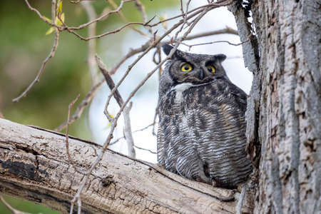 male great horned owl at Delta BC Canada