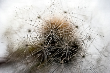 A bunch on Dandelion seeds on a stem
