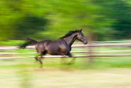 A stallion galloping on paddock