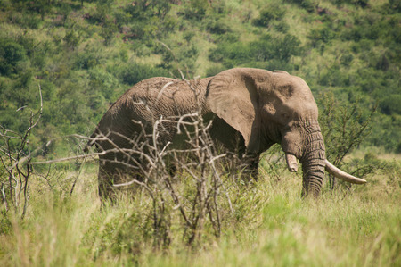 African Elephant walking through grass Stock Photo